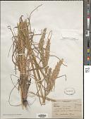 view Poa arachnifera Torr. digital asset number 1