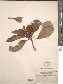 view Eriobotrya philippinensis S. Vidal digital asset number 1