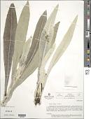 view Espeletiopsis cristalinensis (Cuatrec.) Cuatrec. digital asset number 1