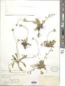 view Hieracium pilosella L. digital asset number 1