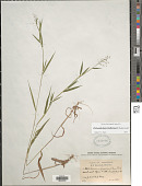 view Dichanthelium acuminatum var. lindheimeri (Nash) Gould & C.A. Clark digital asset number 1