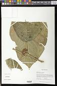 view Besleria tambensis C.V. Morton digital asset number 1