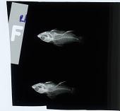 view Plectranthias nanus Randall digital asset number 1