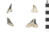 view Fossil Shark, Weasel shark, Snaggletooth shark digital asset number 1