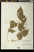 view Dioscorea piperifolia Bonpl. ex Humb. & Willd. digital asset number 1