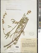 view Crotalaria maypurensis Kunth digital asset number 1