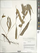 view Microsorum nigrescens (Blume) Copel. digital asset number 1