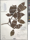view Frangula granulosa (Ruiz & Pav.) Grubov digital asset number 1
