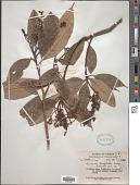 view Meliosma dumicola W.W. Sm. digital asset number 1