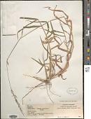 view Melinis minutiflora P. Beauv. digital asset number 1