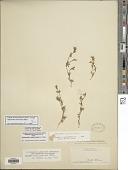 view Stylosanthes macrocarpa S.F. Blake digital asset number 1
