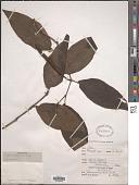 view Piper pesaresanum C. DC. digital asset number 1