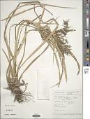 view Cyperus diffusus Vahl digital asset number 1