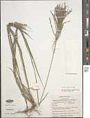 view Leptochloa virgata (L.) P. Beauv. digital asset number 1