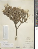 view Pinus johannis M.-F. Robert digital asset number 1