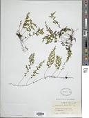view Hymenophyllum polyanthos (Sw.) Sw. digital asset number 1