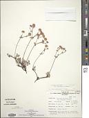 view Eriogonum umbellatum var. versicolor S. Stokes digital asset number 1
