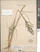 view Diplachne fusca subsp. uninervia digital asset number 1