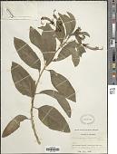 view Centropogon cornutus (L.) Druce digital asset number 1