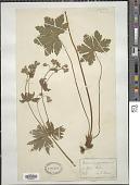 view Geranium silvaticum L. digital asset number 1