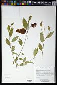 view Sebastiania fruticosa (Bartram) Fernald digital asset number 1