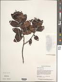view Bonnetia sessilis Benth. digital asset number 1