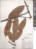 view Anaxagorea brevipes Benth. digital asset number 1