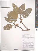 view Ficus ingens (Miq.) Miq. digital asset number 1