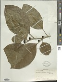view Lycianthes vitiensis (Seem.) A.R. Bean digital asset number 1