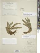 view Huperzia miyoshiana (Makino) Ching x H. occidentalis (Clute) Kartesz & Gandhi digital asset number 1