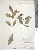 view Palicourea hemicephaelis (Wernham) Delprete & J.H. Kirkbr. digital asset number 1