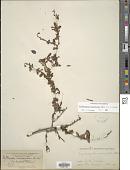 view Erythroxylum cuneifolium (Mart.) O.E. Schulz digital asset number 1