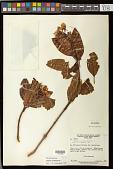 view Huberia ovalifolia DC. digital asset number 1