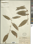 view Smilax luculenta Killip & C.V. Morton digital asset number 1