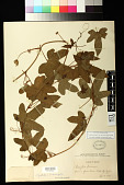 view Passiflora foetida var. hibiscifolia L. digital asset number 1
