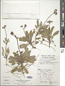 view Chorizanthe staticoides Benth. digital asset number 1