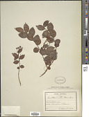 view Gaultheria adenothrix (Miq.) Maxim. digital asset number 1