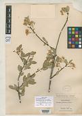 view Cerasus padifolia Greene digital asset number 1