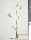 view Eriophorum viridicarinatum (Englem.) Fernald digital asset number 1