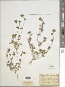 view Trifolium cherleri L. digital asset number 1