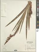 view Gladiolus hanningtonii Baker digital asset number 1
