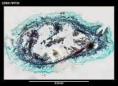 view Phyllomenia cornuadentata digital asset number 1