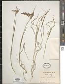 view Agrostis stolonifera L. digital asset number 1