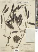 view Clianthus binnendyckianus Kurz digital asset number 1