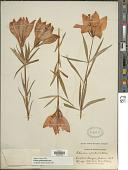 view Lilium philadelphicum L. digital asset number 1