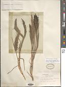view Dinebra panicoides (J. Presl) P.M. Peterson & N. Snow digital asset number 1
