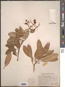 view Heteromeles salicifolia (C. Presl) Abrams digital asset number 1