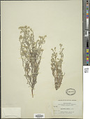 view Cryptantha scoparia A. Nelson digital asset number 1