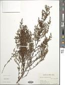view Artemisia parviflora Roxb. digital asset number 1
