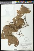 view Caryocar glabrum subsp. glabrum digital asset number 1